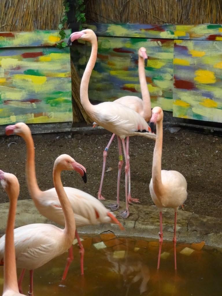 зоопарк в Риге фламинго