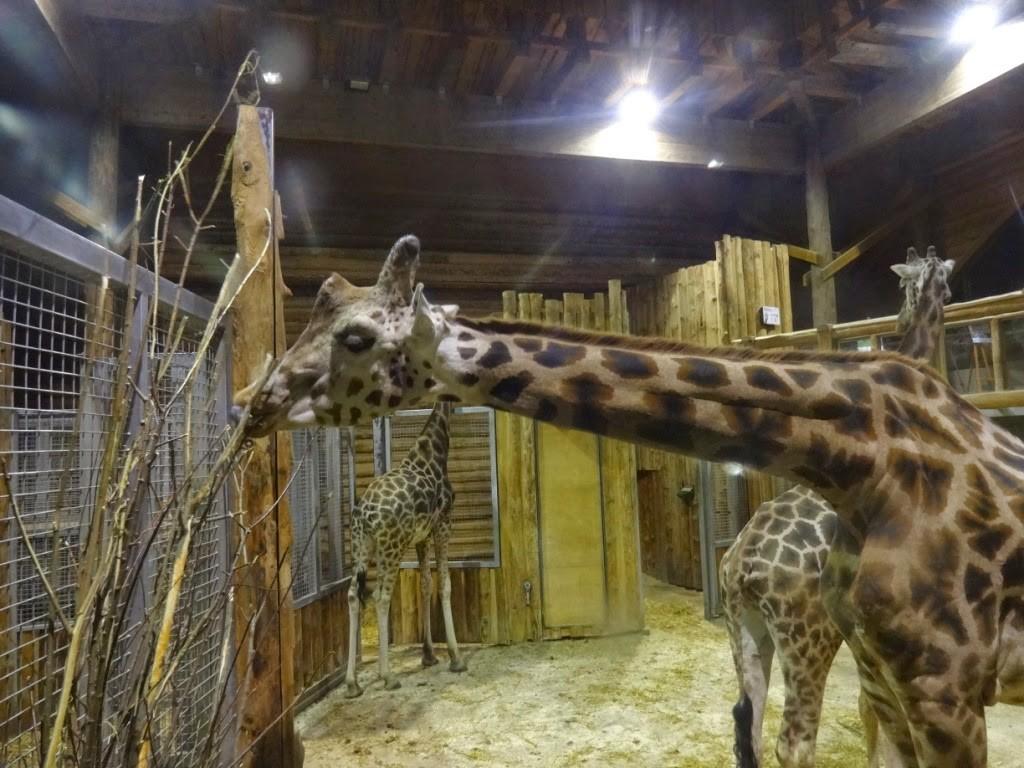 зоопарк в Риге жирафы