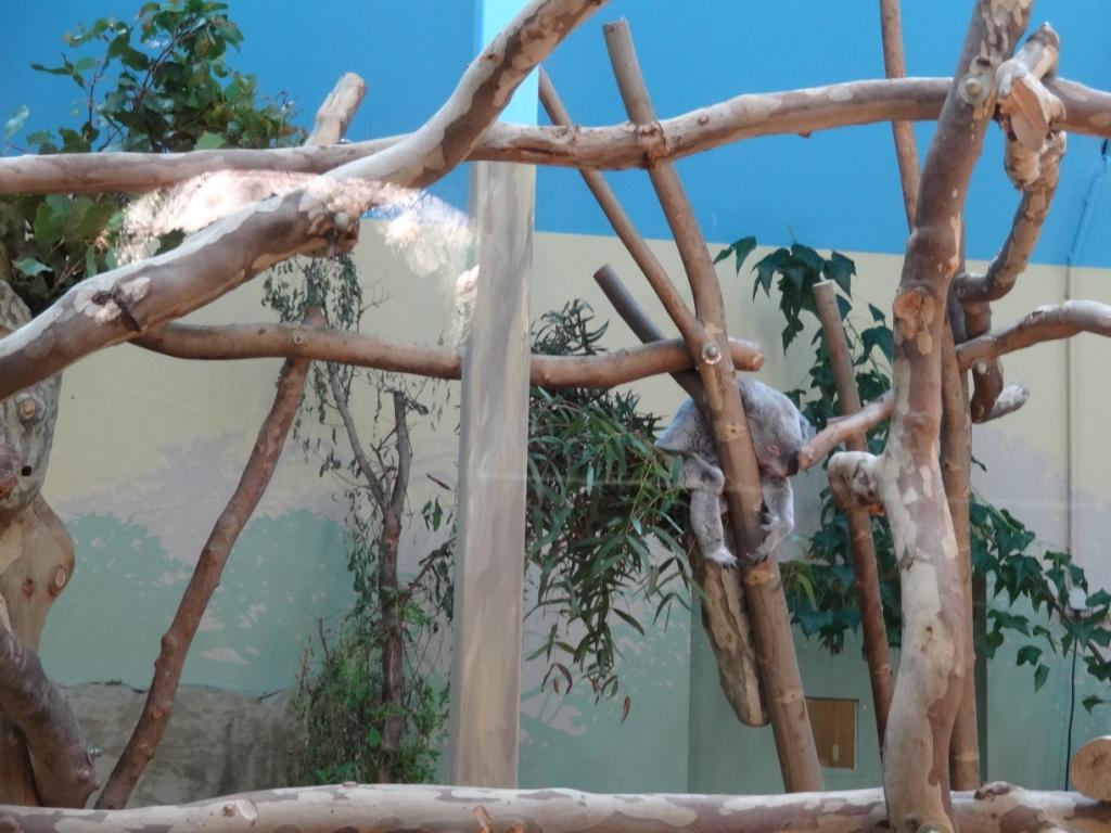 коала зоопарк будапешта