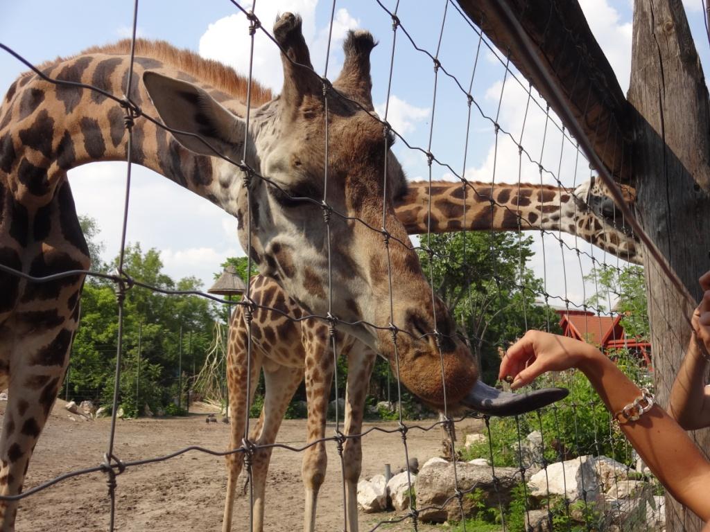 жираф зоопарк будапешта