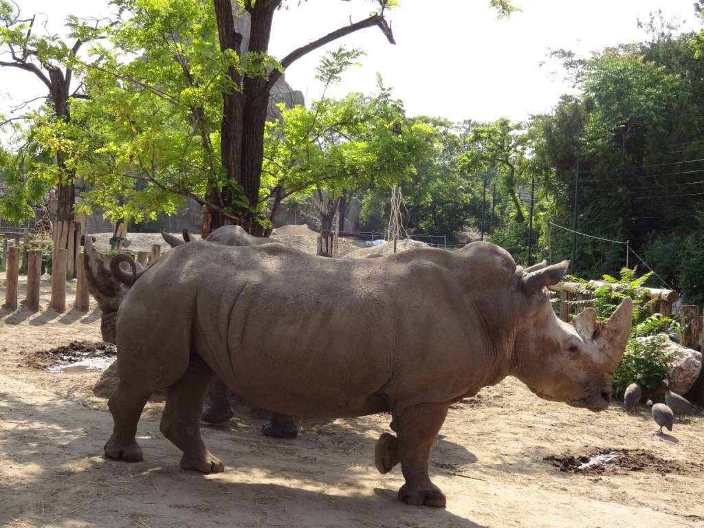 носорог зоопарк будапешта
