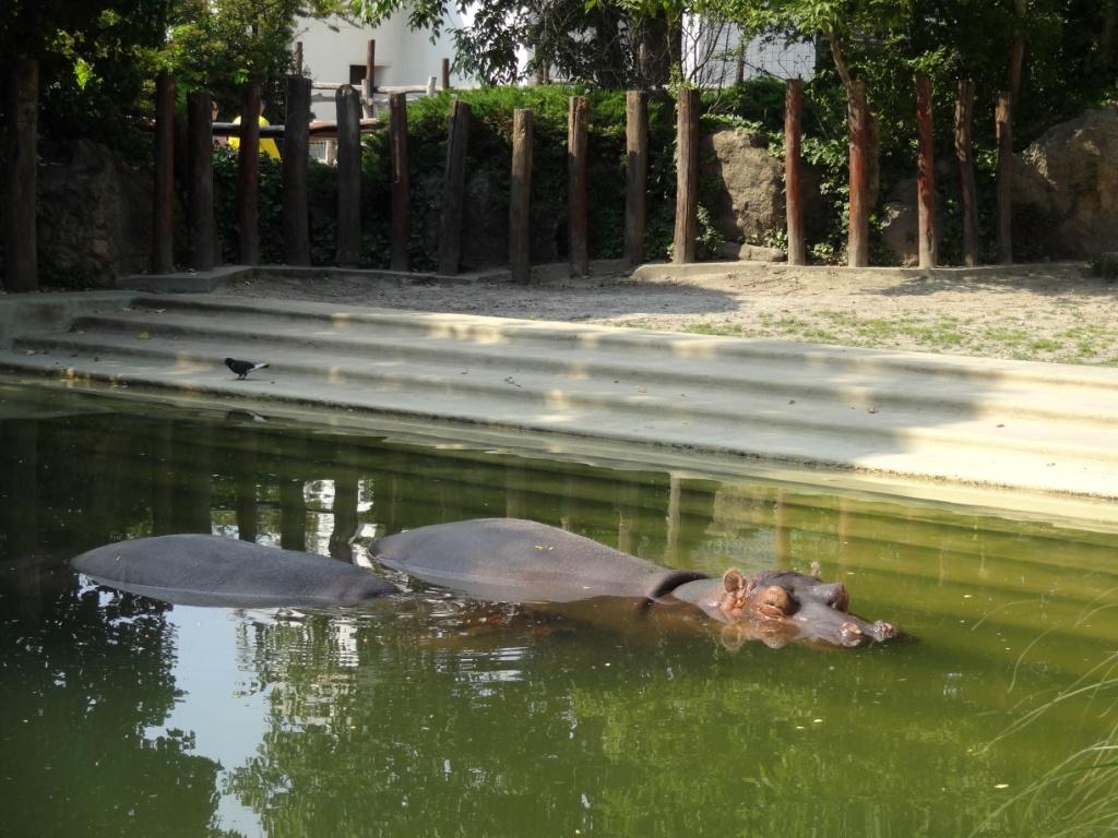 бегемот зоопарк будапешта