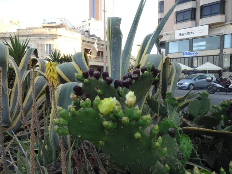 мальта цветущий кактус