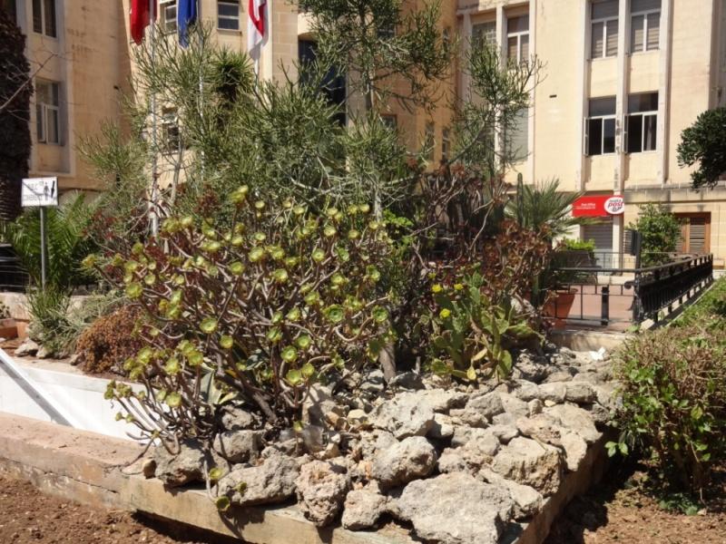 растения мальта