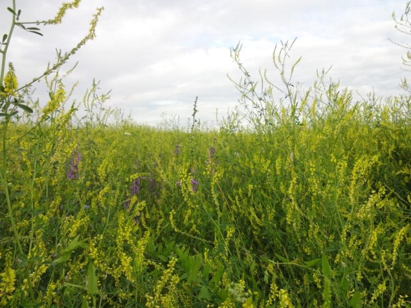 луговые травы старая рязань