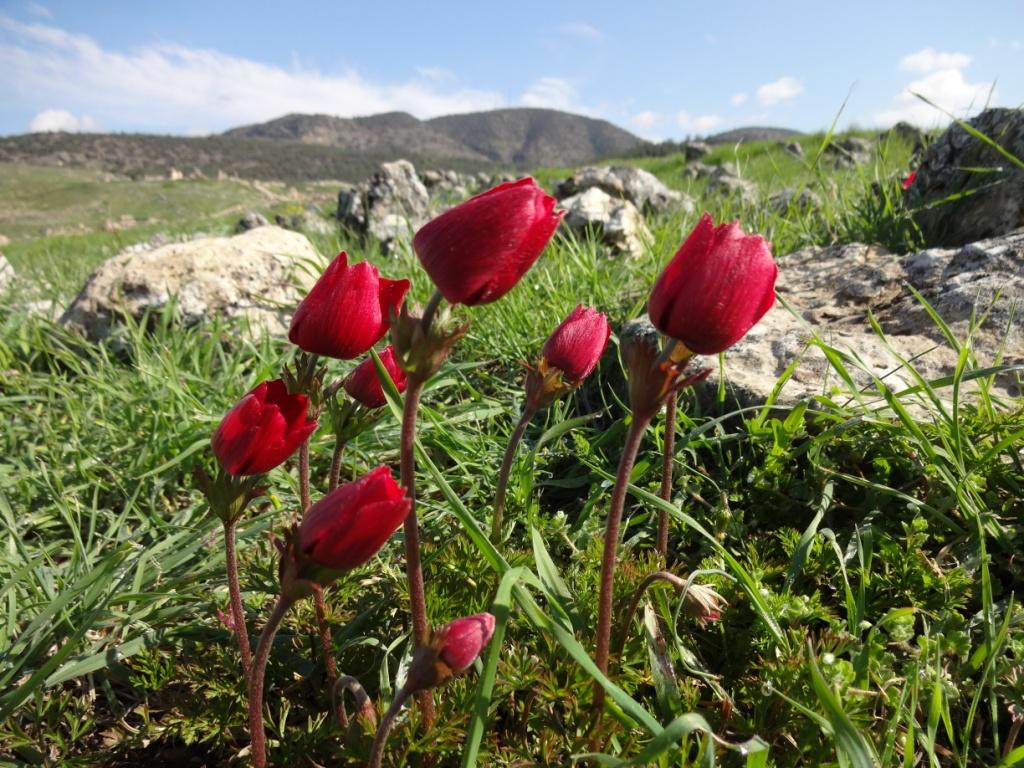 дикие тюльпаны турция март