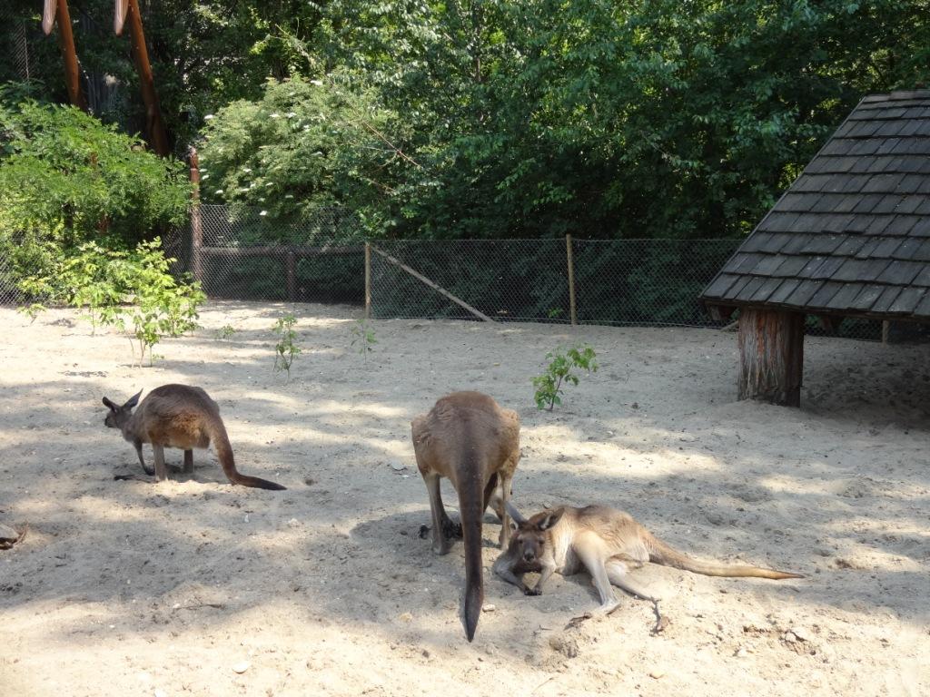 кенгуру зоопарк будапешта