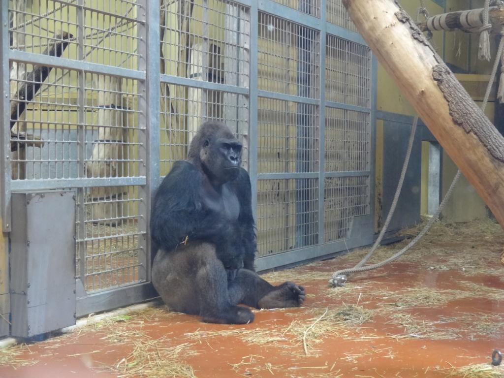 горилла зоопарк будапешта
