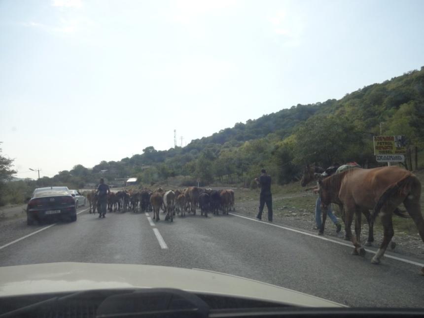 грузия коровы на дороге