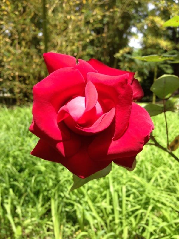 роза в грузии