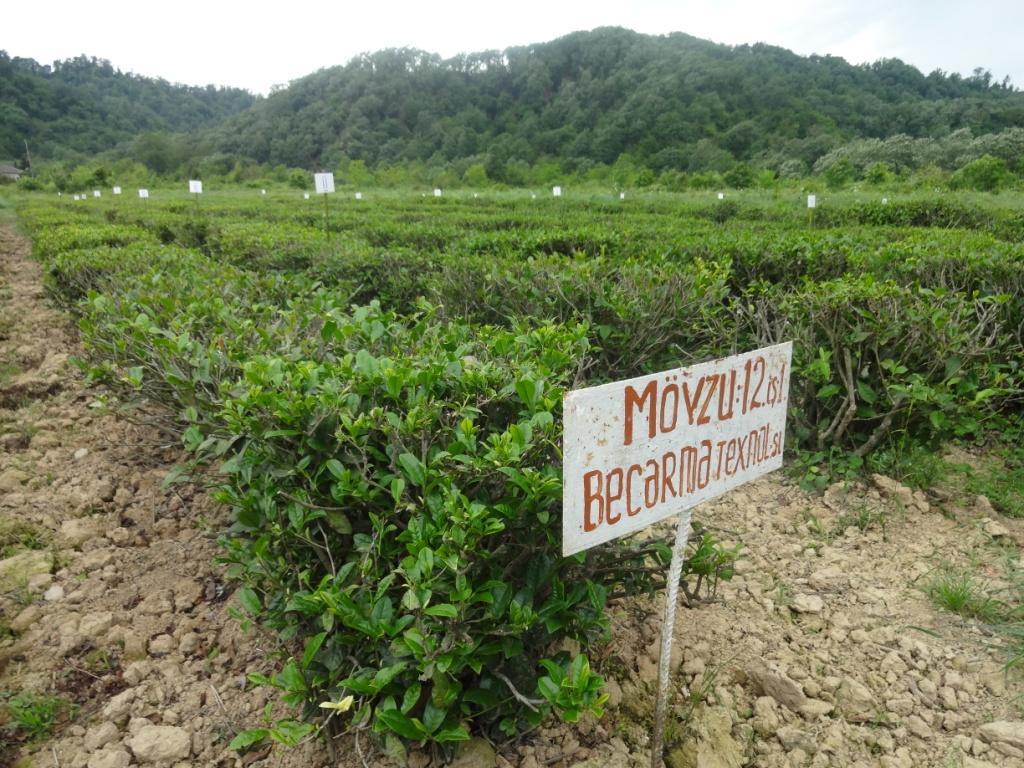 ленкорань выращивание чая