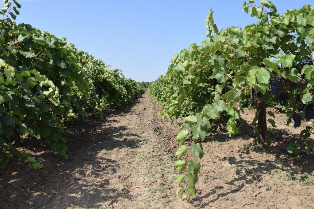 виноградники тамань